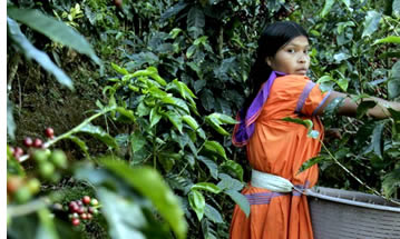 Ngobe Bugle Woman picking coffee in Boquete, Panama