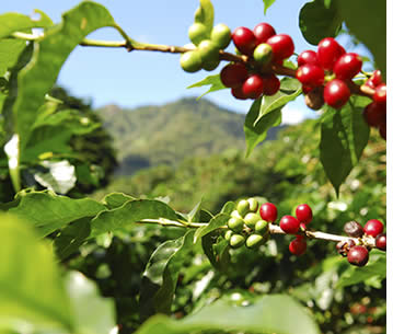 Cool mountain weather in Boquete make it an ideal place to grow coffee in the tropics